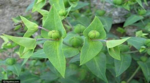 تحذير من نبات «حب الملوك» المستخدم فى التخسيس.. يسبب الوفاة